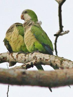 Monk Parakeets in Singapore