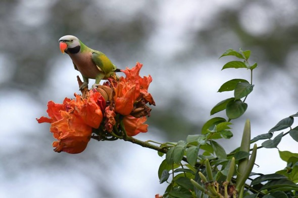 Red-breasted Parakeet chewing on African Tulip flower buds