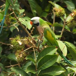 Red-breasted Parakeet feeding on rambutan