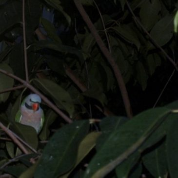 Roosting Red-breasted Parakeets