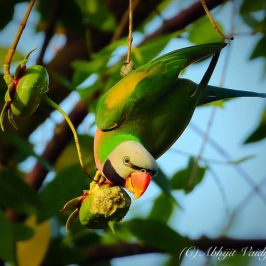 Red-breasted Parakeet feasting on <em>Sonneratia caseolaris</em> fruits