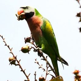 Red-breasted Parakeet eats seeds of <em>Lagestroemia speciosa</em>