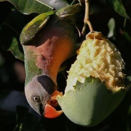 Red-Breasted Parakeet & Tanimbar Corella Feeding on Mango