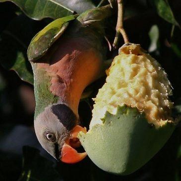 Red-Breasted Parakeet & Tanimbar Corella Feeding on Mango