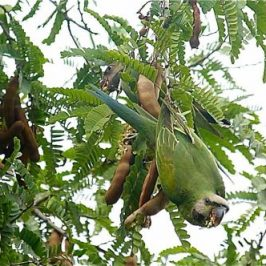 Red-breasted Parakeet eating tamarind fruits