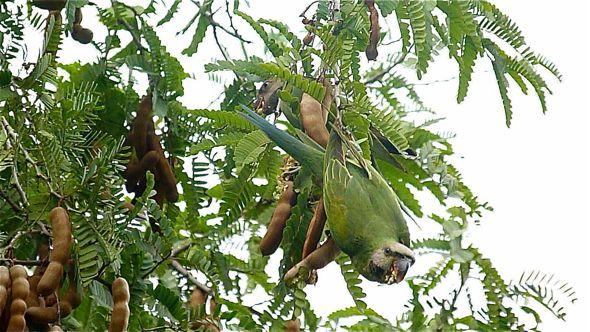 Red-breasted Parakeet eating tamarind fruits