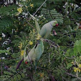 Rose-ringed Parakeet eating fruits of Caesalpinia pulcherrima var. Flava
