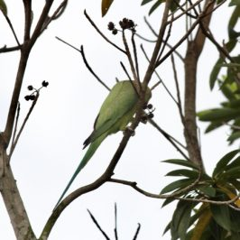 Parakeets at Sian Tuan: 6. Rose-ringed Parakeet feeds on Golden Penda fruits