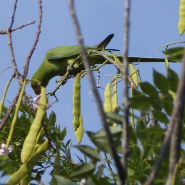 Rose-ringed Parakeet's varied diet