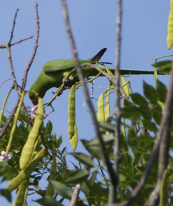 Rose-ringed Parakeet's varied diet