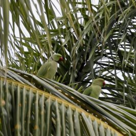Parakeets at Sian Tuan: 2. Gathering around coconut palms