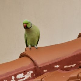 Parakeets at Sian Tuan: 3. Activities on the roof