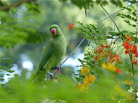 Rose-ringed Parakeet Feasting On Peacock Flower