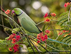 Rose-ringed Parakeet eating seeds of peacock flower