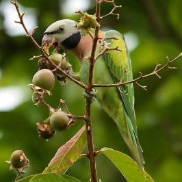 Red-breasted Parakeet eating Lagerstroemia fruits