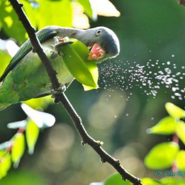 Blue-rumped Parrot eating starfruit