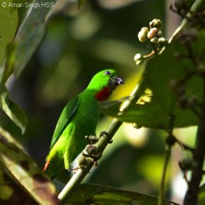 Blue-crowned Hanging Parrot takes Macaranga bancana fruits