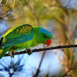Blue-naped Parrot of Kota Kinabalu, Sabah