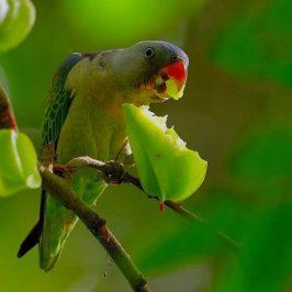 Parakeets eating starfruit (<em>Averrhoa carambola</em>)