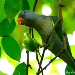 Blue-rumped Parrot eats starfruit (<em>Averrhoa carambola</em>)