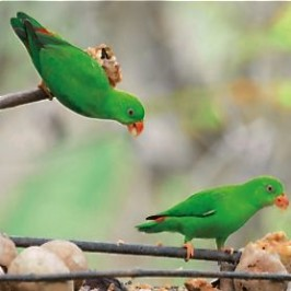 Protecting Vernal Hanging Parrots through ecotourism