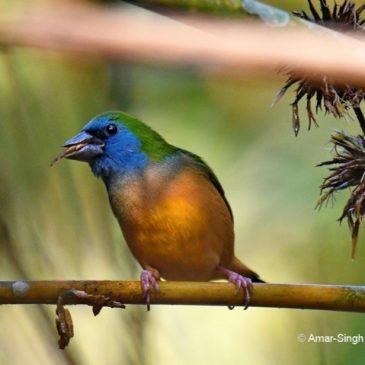 Pin-tailed Parrotfinch – Yellow Morph