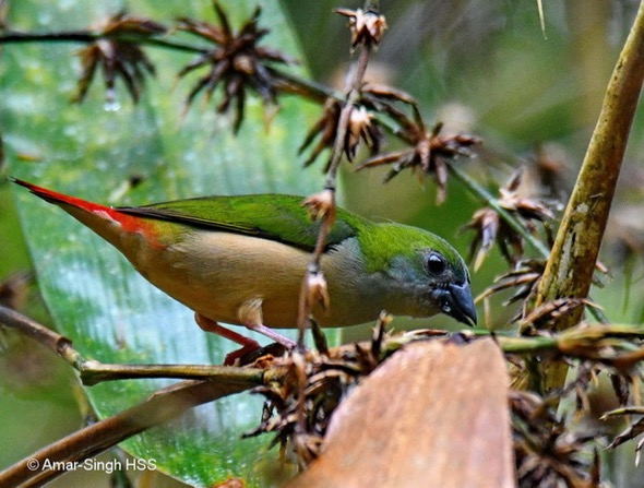 Pin-tailed Parrotfinch feeding bamboo seeds