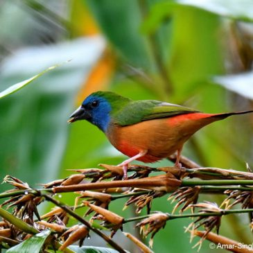 Pin-tailed Parrotfinch feeding on bamboo seeds