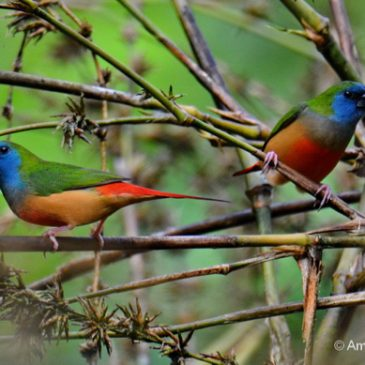 Pin-tailed Parrotfinch and bamboos