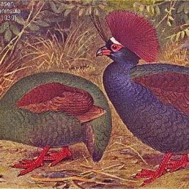 Crested Partridge – social behaviour