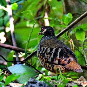 Campbell's/Malaysian Hill Partridge