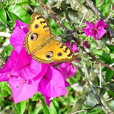 PEACOCK PANSY VISITS BOUGAINVILLEA