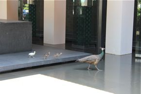 Female Indian Peafowl Prejudiced Against Albino Offspring