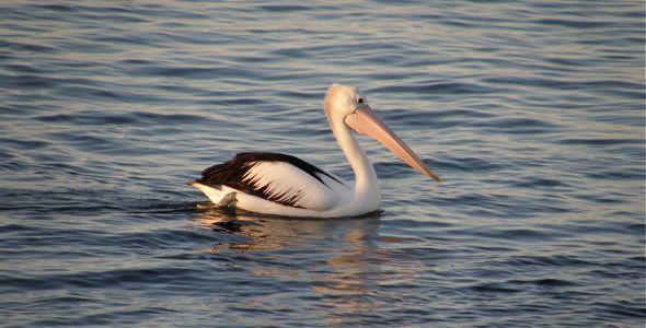 Australian Pelican flying in V-formation