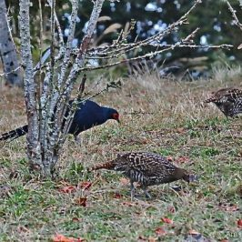 Birding in Taiwan: 5. The Emperor of Dasyueshan, Mikado Pheasant