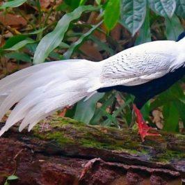 Silver Pheasant @ SBG Singapore