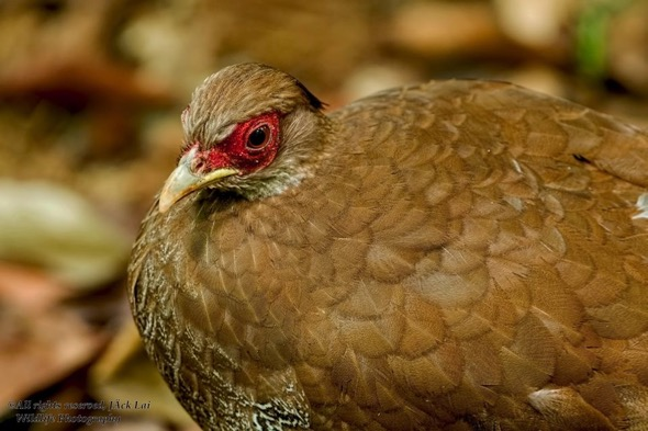 Female Silver Pheasant (Photo credit: Jack Lai)