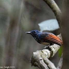 Rufous-winged Philentoma's calls