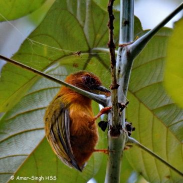 Rufous Piculet – Feeding observations