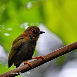 Rufous Piculet – immature/juvenile