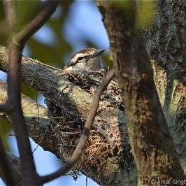 Pied Triller – juvenile in nest