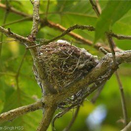 Pied Triller – nest building