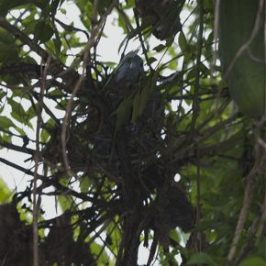 Pink-necked Green Pigeon: A case of failed nesting