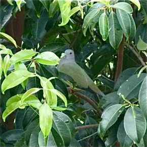 Pink-necked Green Pigeon eating sea apple leaf
