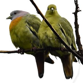 Pink-necked Green Pigeon – call