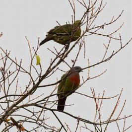 Bonding in Pink-necked Green-pigeons and Compliments of the Season