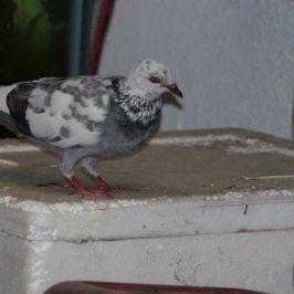 Pigeon vandals – Rock Pigeons consuming plastic