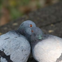 "Rock Pigeon ""kissing"""
