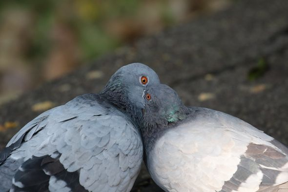 "Rock Pigeon ""kissing"""