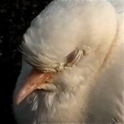 An innocent white Rock Pigeon